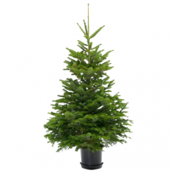 Nordmann kerstboom in pot