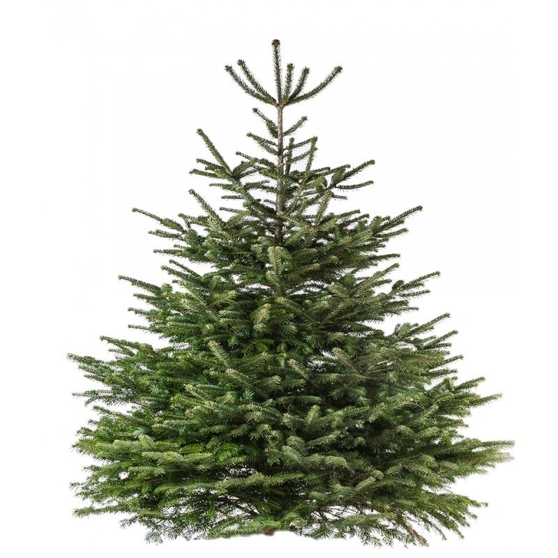 Natural Nordmann tree  - 1