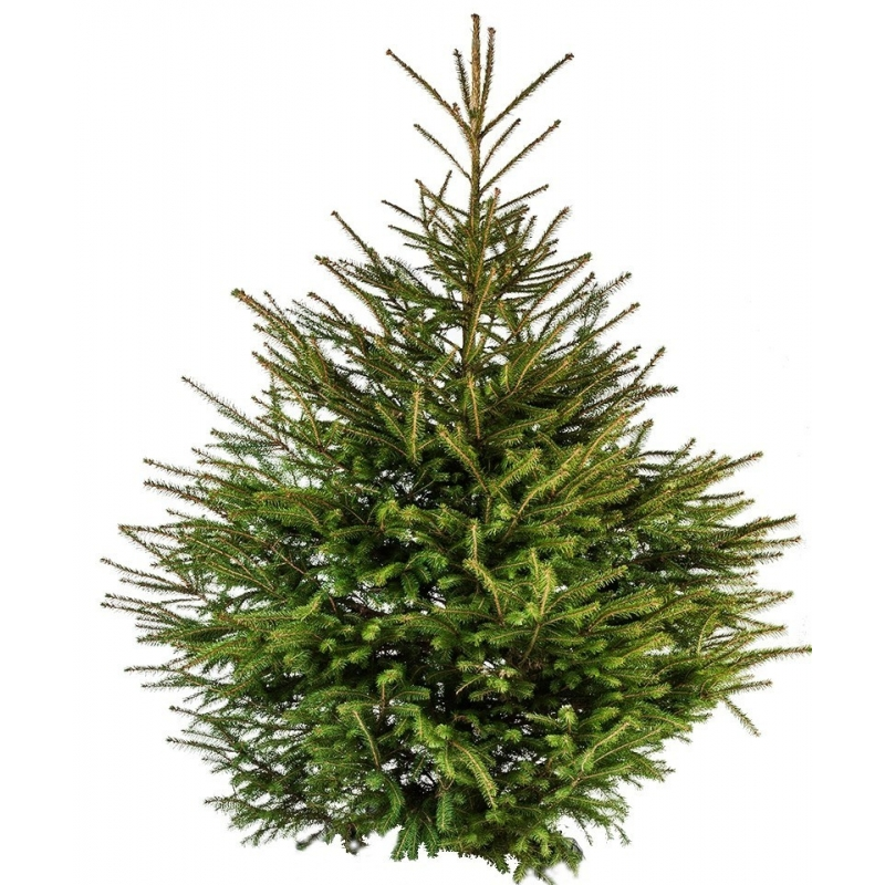 Natural Spruce Tree  - 1