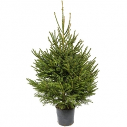 Potted Spruce