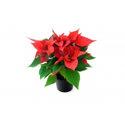 Natural Christmas Rose - Poinsettia  - 1
