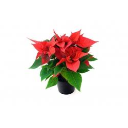 Rose de Noël naturelle - Poinsettia  - 1