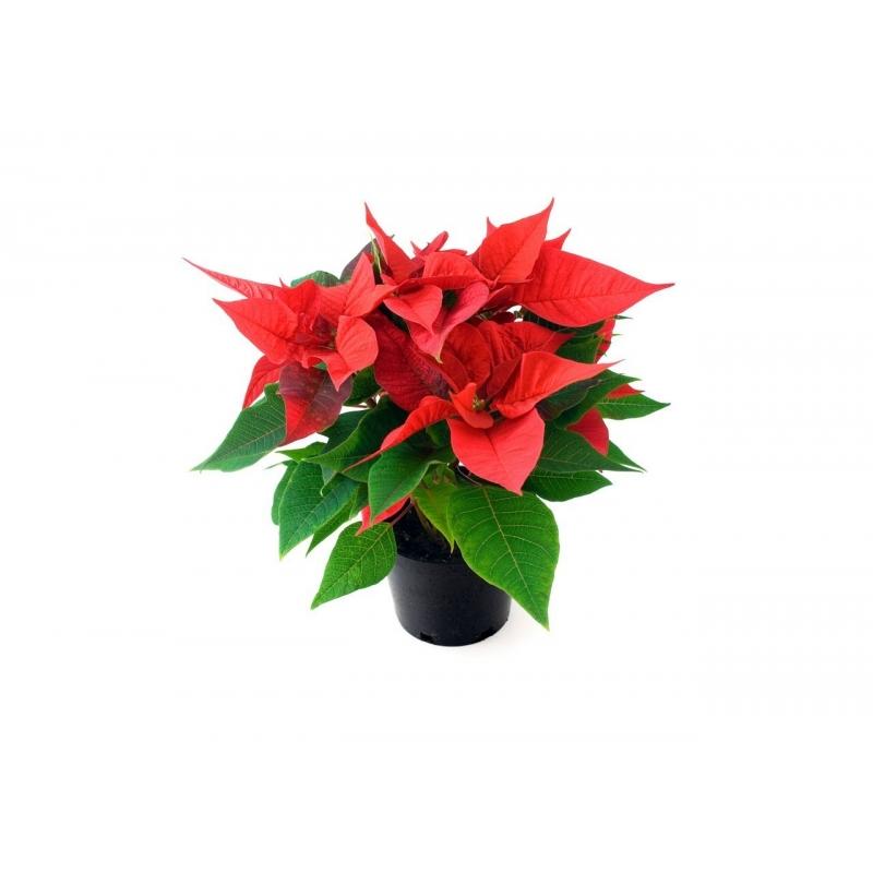 Natuurlijke kerstster of Poinsettia  - 1